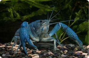 akvariumnyj-rak